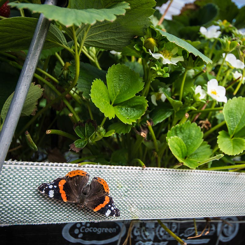 A butterfly on strawberry plants on a The Summer Berry Company farm