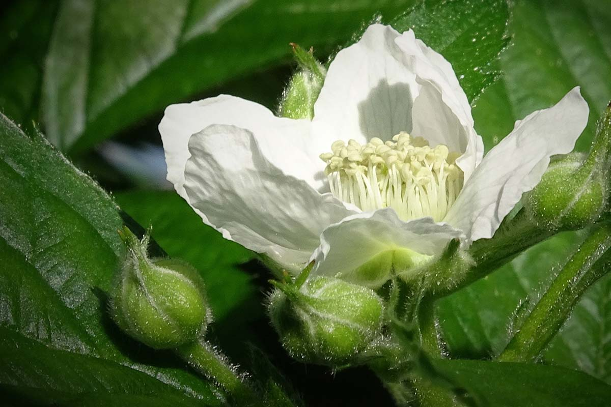 A close up of a open blackberry flower on a Hall Hunter farm